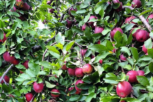 apple6